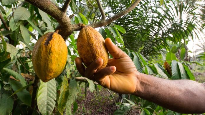 Kakao, Afrika