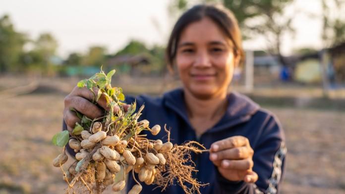 Erdnussernte, Nicaragua, Lateinamerika