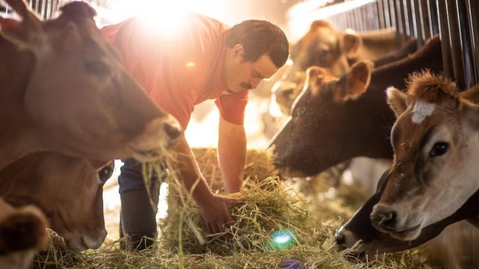 Bauer in Costa Rica füttert Kühe im Kuhstall