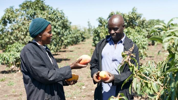 Kevian Kenya, Kleinbauern bei der Mangoernte