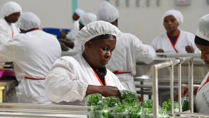 Mitarbeiterin einer Konservenfabrik für Grüne Bohnen in Kenia, dir hauptsächlich in die EU exportiert werden